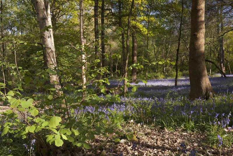 Typical Ecclesall Woods flora: bluebells, oak, birch and hazel © Fran Halsall