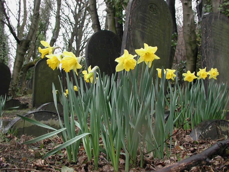 Daffodils in Wardsend Cemetery. Photo by George Proctor.